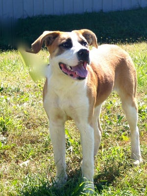 Barney is a 9 month old St. Bernard mix that found his way to Crittenden Co Animal Shelter. He'd really like to find his family or a new one to love.