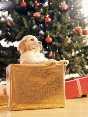 Young Labrador Leaning on a Christmas Present