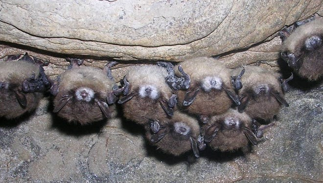 Little brown bats in Hailes Cave, New York.. Tens of thousands of hibernating bats died this winter in the northeast. In and around caves and mines in eastern and upstate New York, Vermont, western Massachusetts, and northwestern Connecticut, biologists found sick, dying and dead bats in unprecedented numbers. In just eight of the affected New York caves, mortality appears to range from 80 percent to 100 percent. The white fungus is visible on the bats in this photo.  Credit: Al Hicks, New York Department of Environmental Conservation