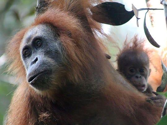 INDONESIA-ANIMAL-ORANGUTAN