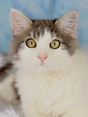Scuttles is available for adoption at 952 W. Melody Avenue in Gilbert. For more information, call 480-497-8296, e-mail FFLcats@azfriends.org, or visit azfriends.org.