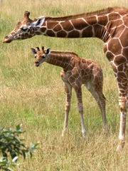Giraffes great and small can be found at Cape May County Zoo