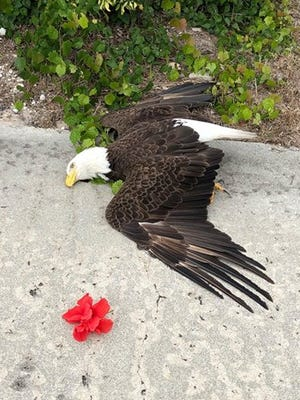 A bald eagle died near the Island Country Club on Marco Island Tuesday evening. The cause of death is currently unknown.