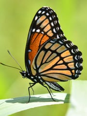 This butterfly is among the wonders of nature discovered