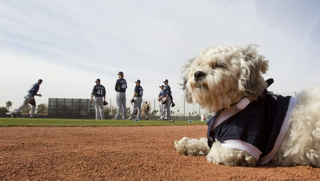 In February 2014, Hank was not yet the Ballpark Pup, just a rather grimy stray who wandered into Maryvale Baseball Park as the Milwaukee Brewers gathered for spring training.