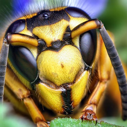 File photo of a yellow jacket queen