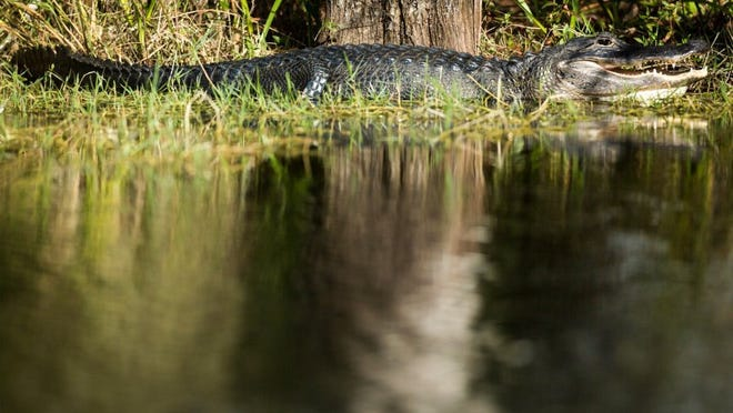 An American alligator suns itself on the banks of a canal along Turner River Road in the Big Cypress National Preserve on Wednesday, Dec. 3, 2014, in rural Collier County.  (David Albers/Staff)