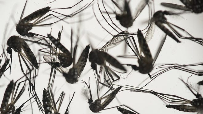 In this Wednesday, Jan. 27, 2016 photo, Aedes aegypti mosquitoes sit in a petri dish at the Fiocruz institute in Recife, Pernambuco state, Brazil. The mosquito is a vector for the proliferation of the Zika virus spreading throughout Latin America (AP Photo/Felipe Dana)