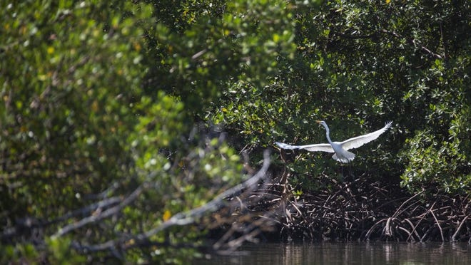 File: A great egret takes flight on one of the islands in Rookery Bay on June 28, 2016 in Naples, Florida.