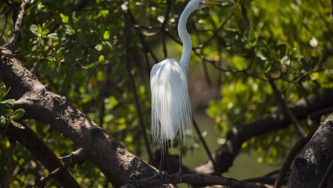 File: A great egret perches on one of the island trees in Rookery Bay.