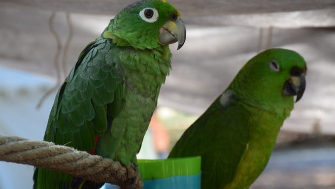 Sweetie Pie the parrot, who resembled this duo, had quite the vocabulary.