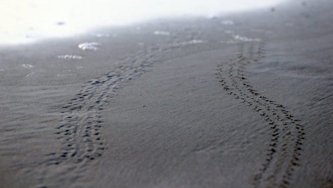 GABE HERNANDEZ/CALLER-TIMES Prints made by Kemp's ridley sea turtle hatchlings mark the sand after they were released during the Centennial Sea Turtle Celebration on Saturday, July 9, 2016, at Padre Island National Seashore in Corpus Christi.