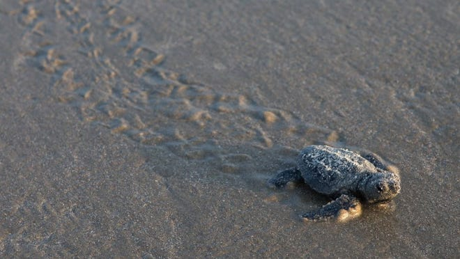 COURTNEY SACCO/CALLER-TIMES A Kemp's ridley sea turtle hatchling crawls across the beach at Padre Island National Seashore during the fourth public sea turtle hatching release on Thursday.