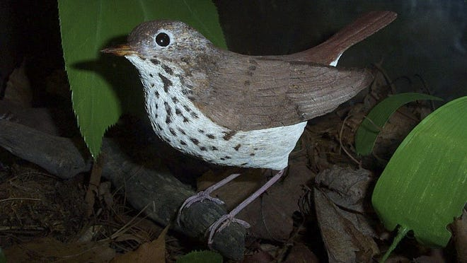 Hermit thrush, carved by Bob Spear and on display at the Birds of Vermont Museum in Huntington.