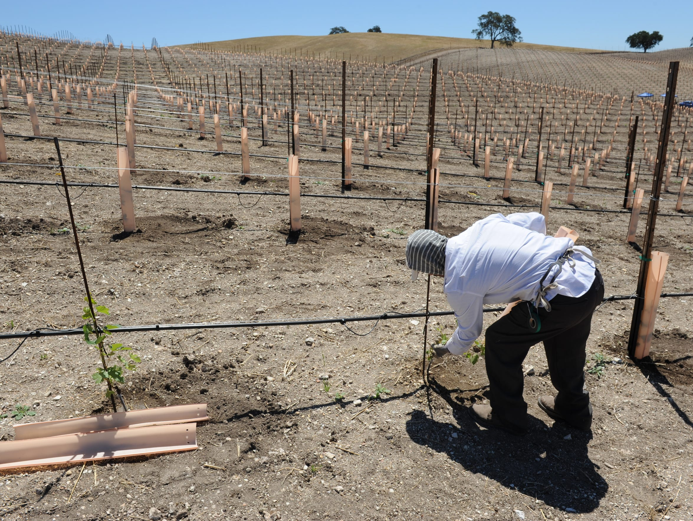 A worker slips a plastic tube over a young grapevine
