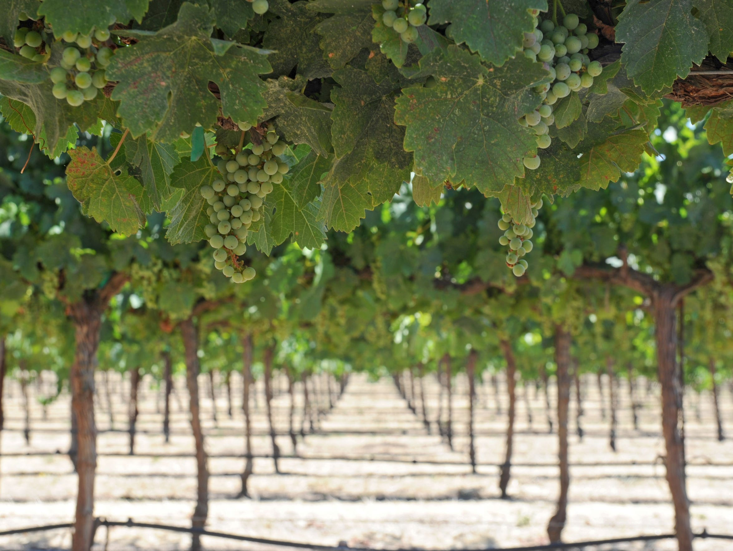 Wine grapes hang on the vines at Pomar Junction Vineyard
