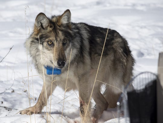 Wolf No. M1342 is released at Escudilla Mountain.