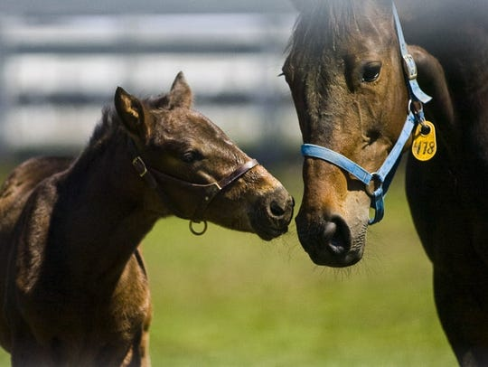 A foal is seen with its mother at Hanover Shoe Farms