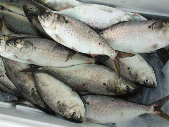 Menhaden caught for bait with a cast net.