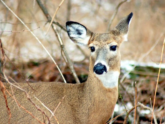Deer will become more active in the fall. Motorists