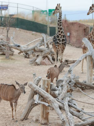 Greater kudus and giraffes share an enclosure at the El Paso Zoo.