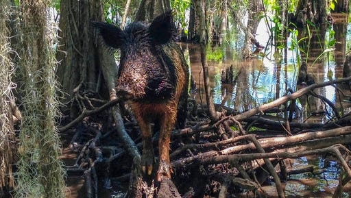 In this Thursday, April 13, 2017, photo, a wild boar walks in a swamp, in Slidell, La. Feral hogs are believed to cause $76 million or more in damage across the state every year but in recent years a small Louisiana slaughterhouse has begun butchering the hogs and selling the product to grocery stores and restaurants as part of an effort to help control the hogs' numbers.