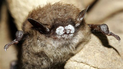 In this Oct. 2008 photo provided by the New York Department of Environmental Conservation is a little brown bat with fungus on its nose in New York.