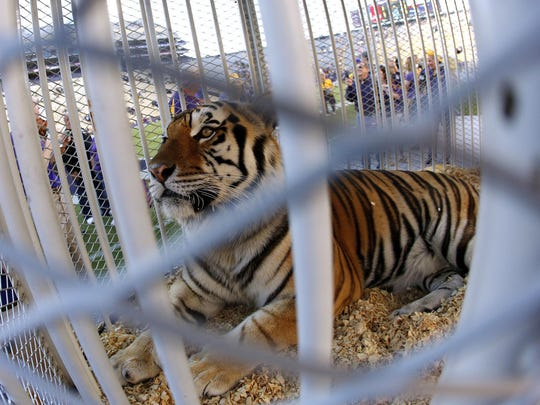 LSU's Mike the Tiger rests on the field a game in 2013 in Baton Rouge. Mike VI was diagnosed with terminal cancer earlier this year.