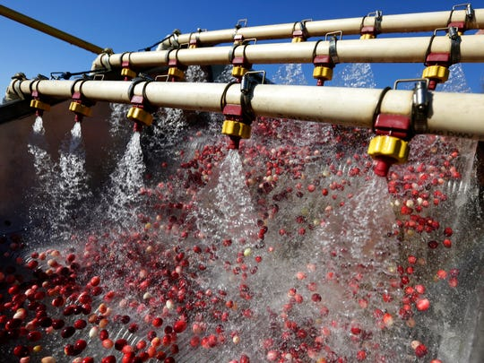 Presssurized water shoots out of sprinkers to clean and sort cranberries before either being discarded or shot up and into a waiting truck before being transported to Babcock and Ocean Spray's regional office, October 21, 2016.