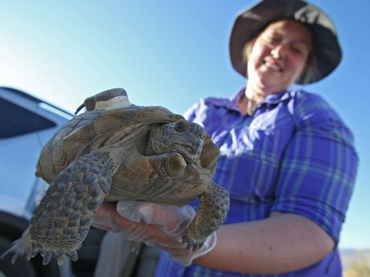 U.S. Geological Survey researcher Shellie Phillips holds a desert tortoise in Joshua Tree National Park. Critics say the proposed Palen solar project could threaten desert tortoises.