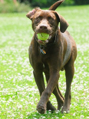 Gage, a chocolate Lab owned by Derek Schouten of Fond du Lac, plays with a tennis ball at the FIDO dog park in July 2014.