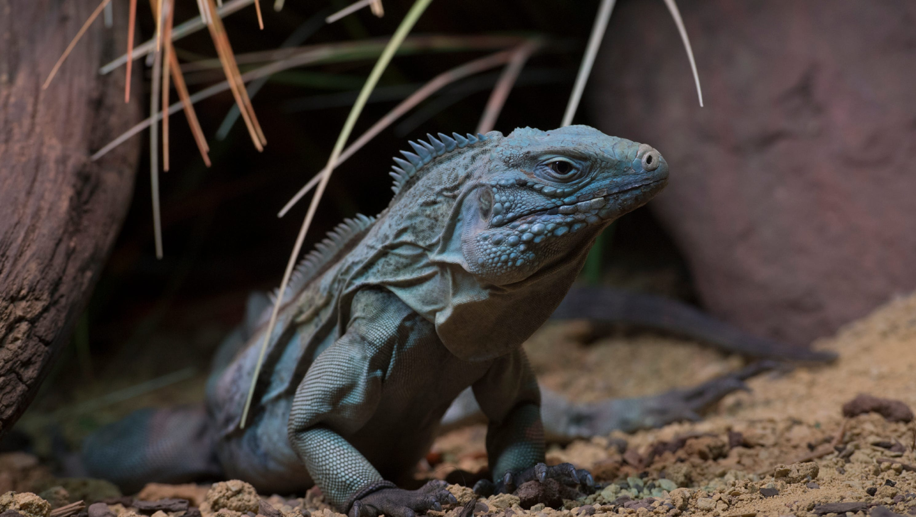 New Blue Iguana Exhibit Opens At WCSs Bronx Zoo