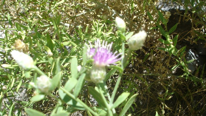 Russian Knapweed is a noxious weed causing problems in Lyon County.