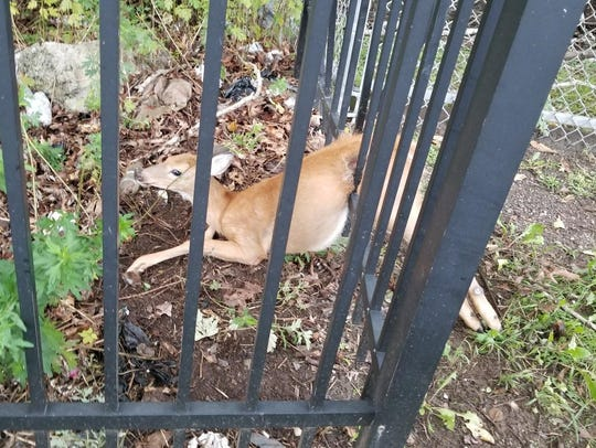 A deer stuck in a fence in Staten Island, New York