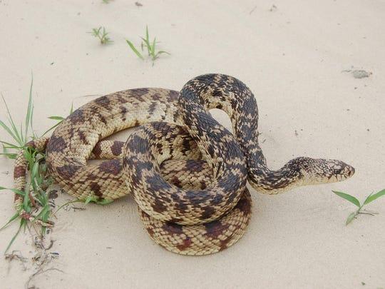 Louisiana pine snake
