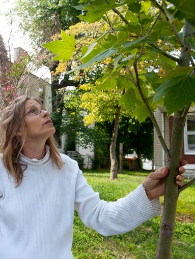 Cindy Calvelo and John Eberman are Portland neighborhood residents who have volunteered to water trees around their homes. Here, Calvelo inspects a young Sycamore in front of her house on Northwestern Parkway. 05 Aug 2014