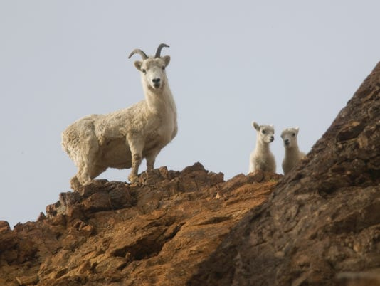 636065387289713163-ak-Dall-sheep-Credit-NPS-Photo.jpg