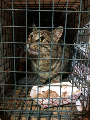 [PHOTO PROVIDED]This brown tabby cat is the 1,000th feral to be trapped, neutered and returned in the City of Middletown and Town of Wallkill through Pets Alive's TNR Program.