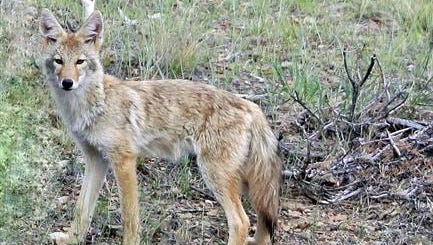 There is no population estimate of coyotes in Montana but the status is listed as widespread and abundant, according to Montana Fish, Wildlife and Parks.