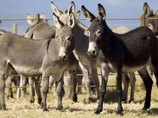 Donkey Adoption (2)