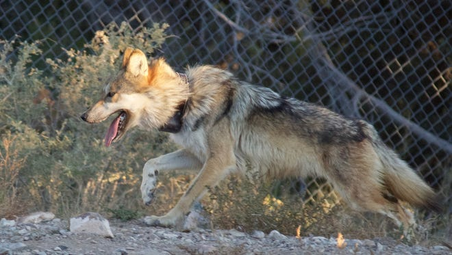 A female Mexican gray wolf attempts to evade capture by fleeing from officials and volunteers within a fenced enclosure at Sevilleta National Wildlife Refuge in New Mexico.
