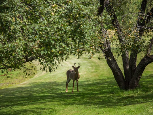 A deer finds an easy meal under a Lincoln apple tree