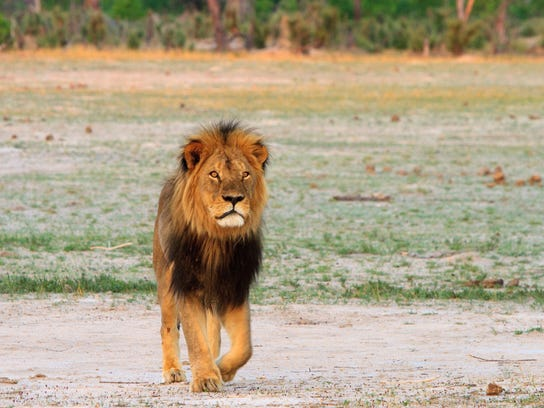Cecil the lion roams on the plains in Hwange National