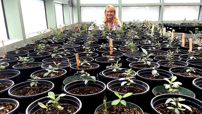 New Mexico State University Research Associate Professor Jennifer Randall stands behind clonal pecan trees in a greenhouse. A $4.4 million grant was recently awarded to NMSU for pecan research. The grant was funded as part of the Specialty Crop Research Initiative through the U.S. Department of Agriculture National Institute of Food and Agriculture.