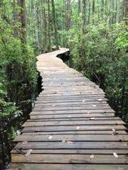 A bridge passing through tupelo trees in a Florida