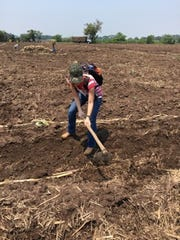 Emily Wickham tries her hand a planting sugar cane with instruction from a field worker at Pantaleon.