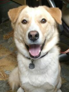 Zayn is a blond and white Siberian husky mix.