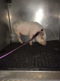 Staff at the Hendricks County Animal Shelter hope to reunite this lost piglet with its owner.