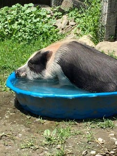 Leo the pot-bellied pig likes to take a dip in the wading pool at Safe Haven Farm Sanctuary.