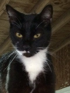 Ichabod is about 13 and was originally part of a feral colony.